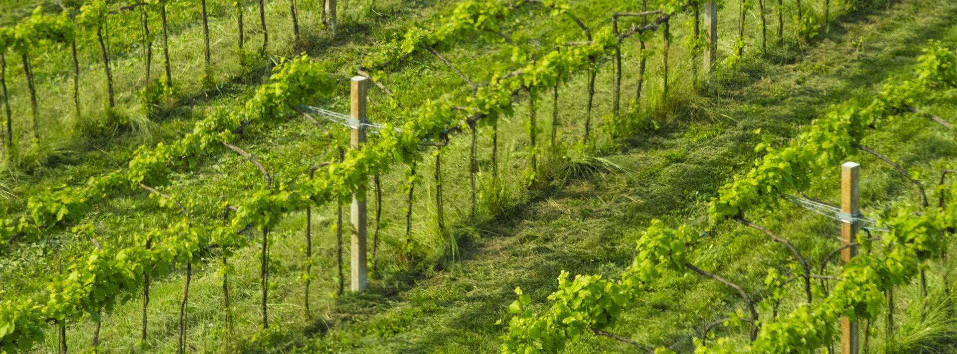 filari_vitigno_3_crop